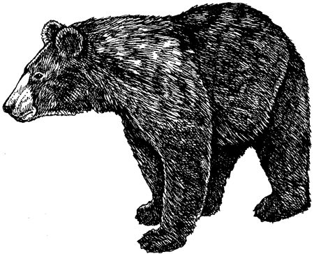 Black bear cropped